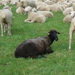 črna ovca